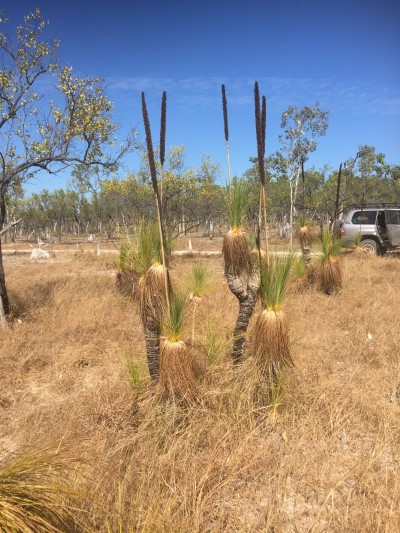 Grass trees on Olkola country, Cape York