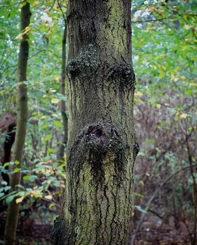 Image of a tree that looks like a grumpy man